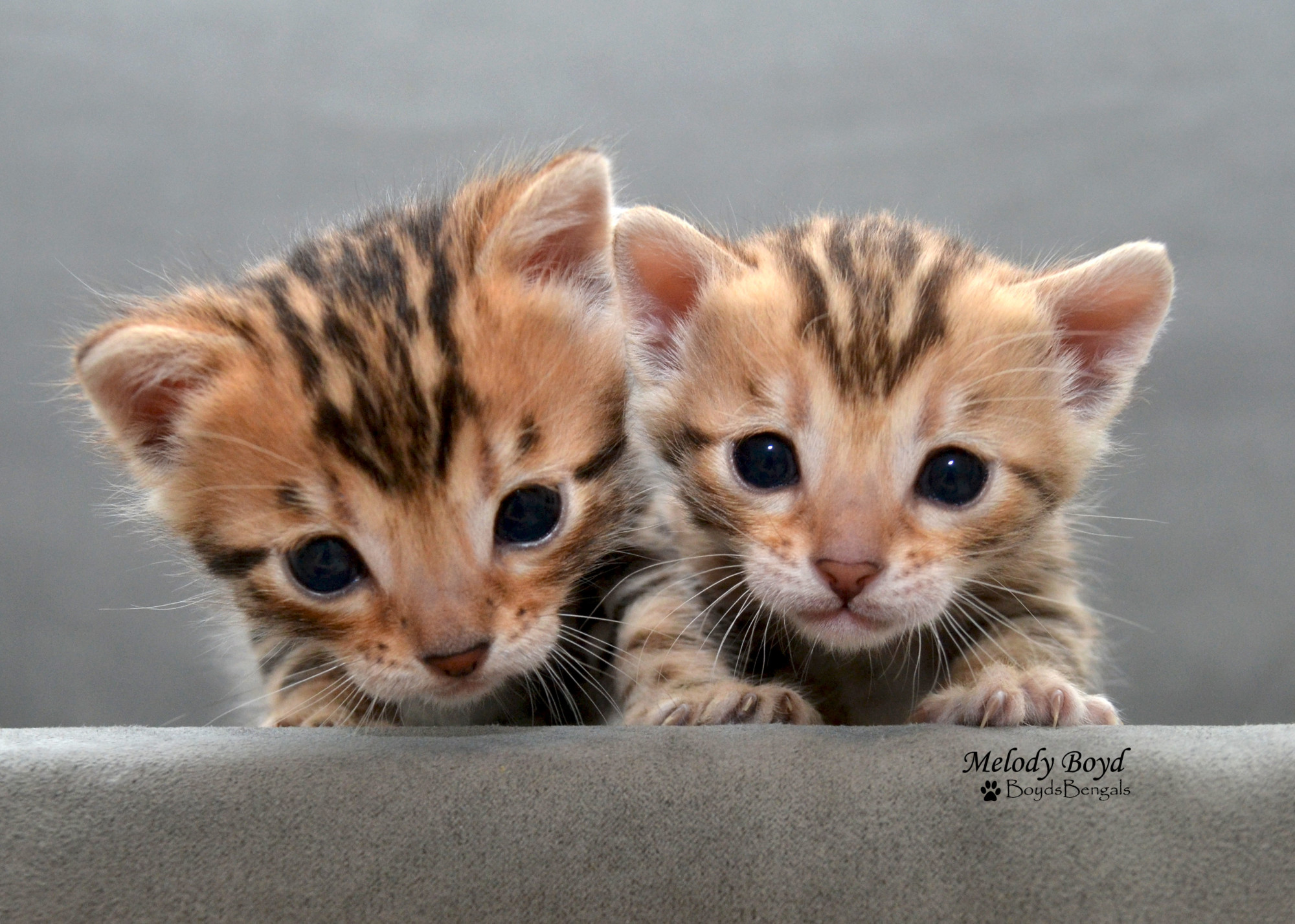 Available Bengal Kittens For Sale