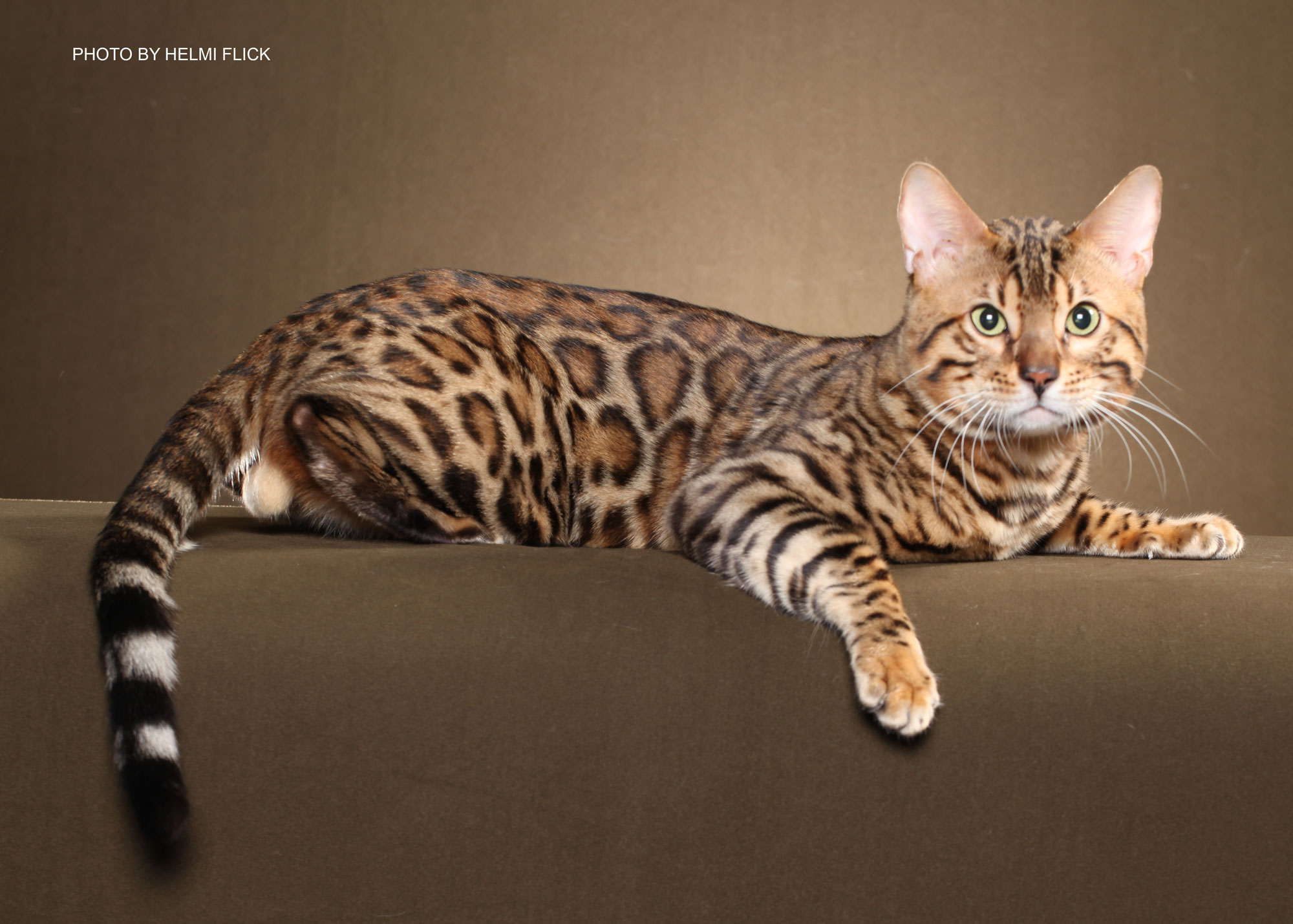 Bengal cats photos 029