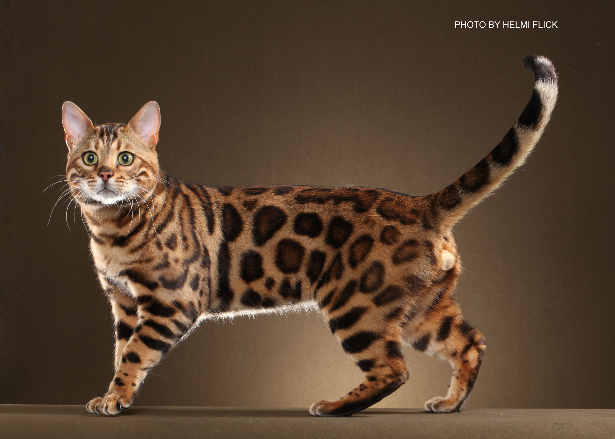 30+ Fabulous Bengal Cat Photos That Look Like Tigers | FallinPets