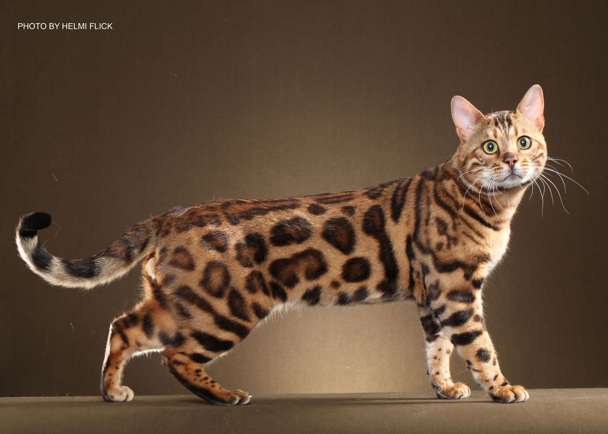 Bengal Adult Cats For Sale In GA - BoydsBengals