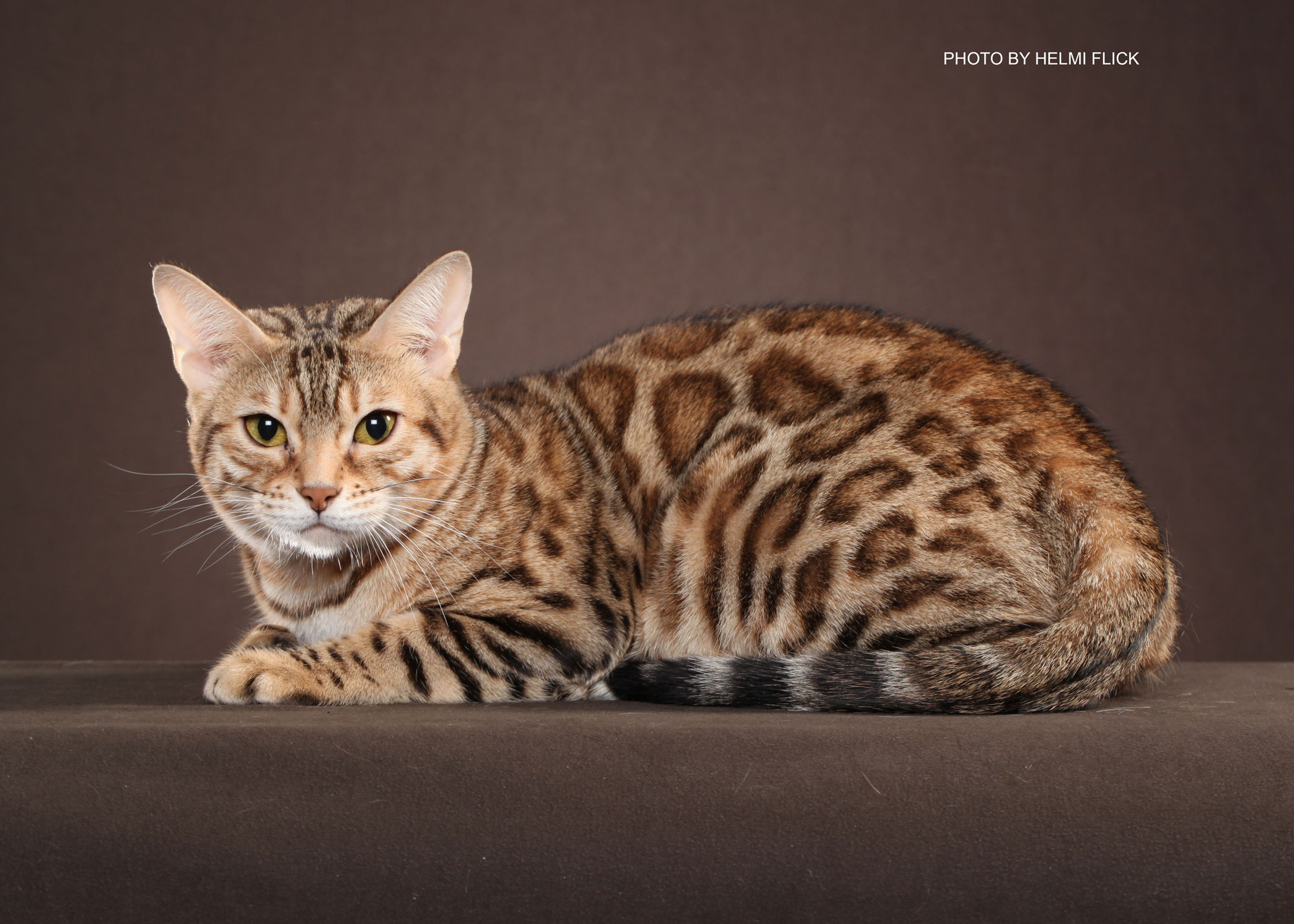Bengal Kittens for Sale in Georgia