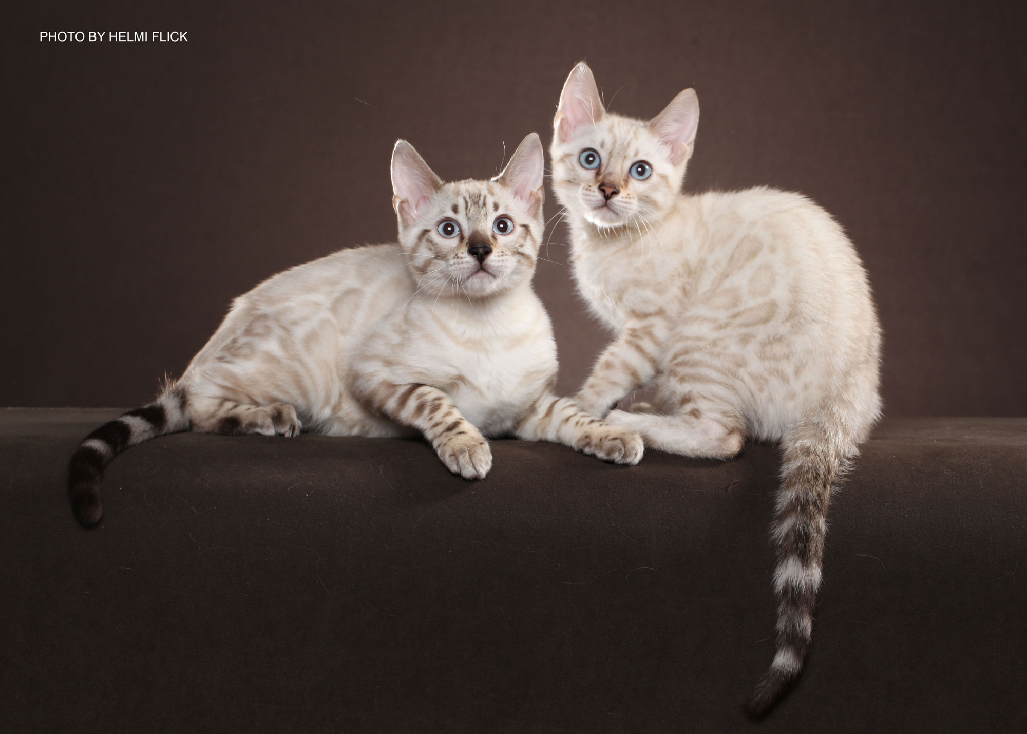 Siamese Cats For Adoption Dfw