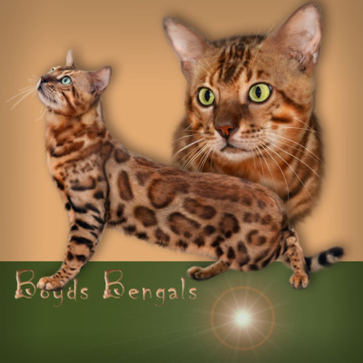 Bengal cats photos 026