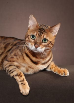 bengal cat breeder resources 01