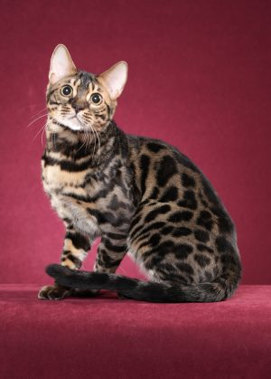 bengal cat breeder resources 02