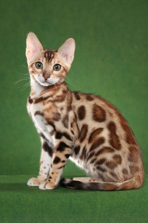 bengal cat breeder resources 06
