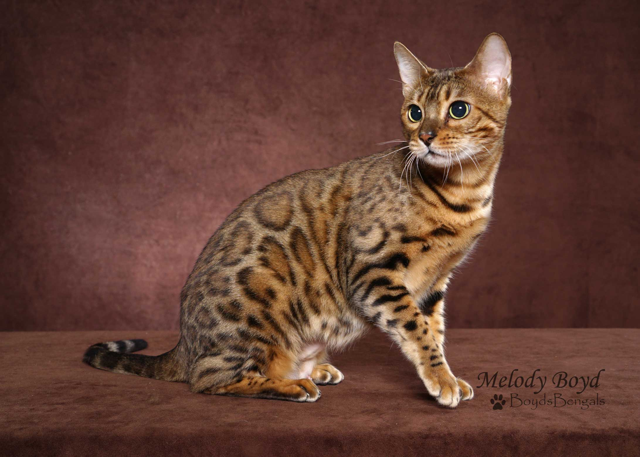 abbysinian adult cats for sale