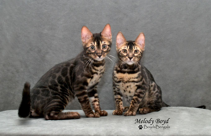 bengal cat past kitten
