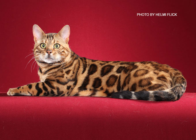 bengal cat retired stud