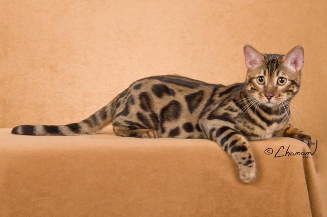 bengal cats stud