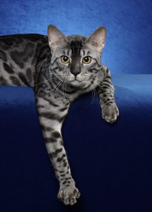 BoydsBengals Storm Breaker – CFA's First Silver Charcoal Bengal Grand!