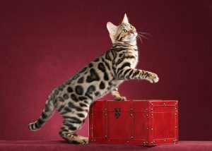 First Female Bengal DM in CFA – BoydsBengals Hearts Desire