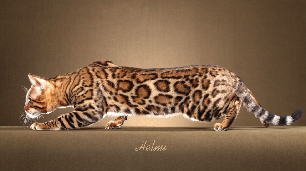 boydsbengals bengal cat studs and queens 01