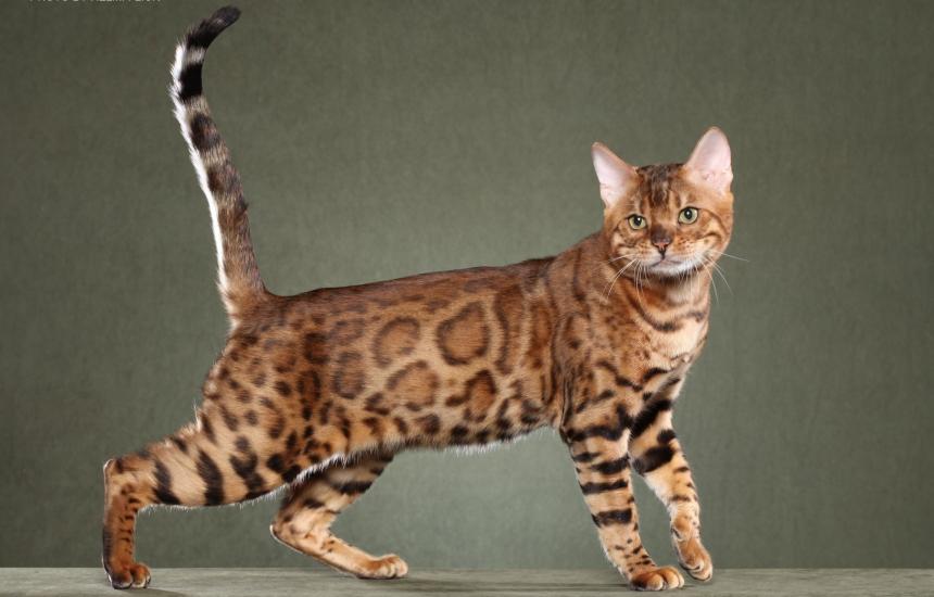 Bengal cats photos 027
