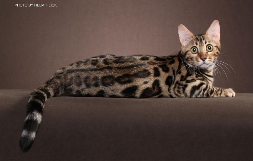 Bengal cats photos 034