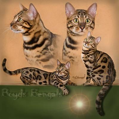 Bengal cats photos 025