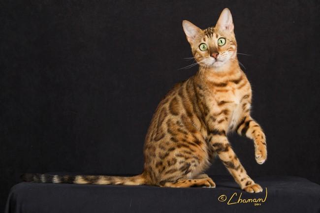 bengal cats queen
