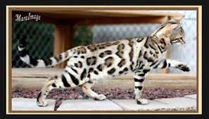 bengal cat retired queen